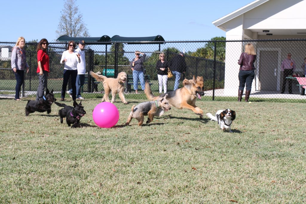 Dogs playing with a pink ball at the Addison Dog park in Viera